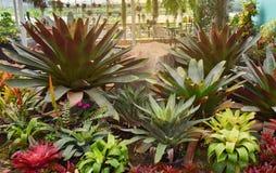 Garden bromeliad flower Royalty Free Stock Image