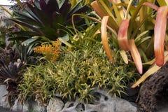 Garden of bromeliad plants Royalty Free Stock Photos