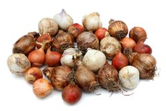 Garden bulbs Stock Photography