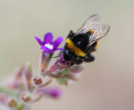 Garden bumblebee Stock Photography