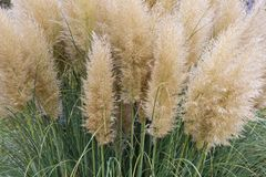Garden with bush of blooming pampas grass Royalty Free Stock Images