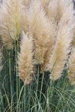 Garden with bush of blooming pampas grass Stock Image