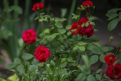Garden with bushes of very beautiful and fragrant red roses royalty free stock photography