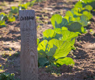 Garden Cabbage Row Royalty Free Stock Image