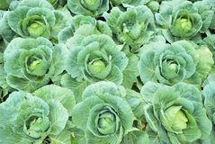 Garden of cabbages Royalty Free Stock Photo