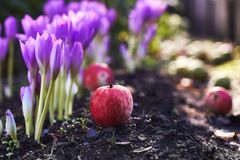 In the garden came autumn. A beautiful autumn flower bloomed - colchicum, similar to spring crocuses. Apples fall to the ground. A. T heart, sadness and royalty free stock image