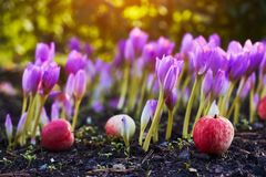 In the garden came autumn. A beautiful autumn flower bloomed - colchicum, similar to spring crocuses. Apples fall to the ground. A. T heart, sadness and stock image