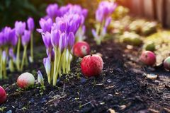 In the garden came autumn. A beautiful autumn flower bloomed - colchicum, similar to spring crocuses. Apples fall to the ground. A. T heart, sadness and royalty free stock photography