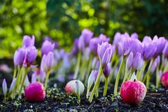 In the garden came autumn. A beautiful autumn flower bloomed - colchicum, similar to spring crocuses. Apples fall to the ground. A. T heart, sadness and stock images