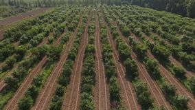 Garden. The camera moves in the air from left to right, in the frame of the rows of cherry trees stock video
