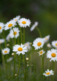 Garden camomile Stock Photography