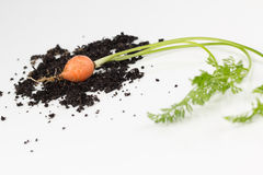 Garden carrot with leaves and soilsoil Royalty Free Stock Photo