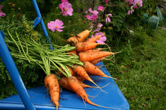 Garden carrots. Pulled from the garden on a blue chair Royalty Free Stock Photos