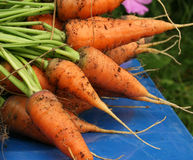 Garden carrots. Pulled from the garden on a blue chair Stock Images