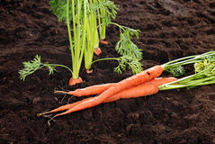 Garden carrots Royalty Free Stock Images