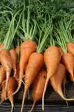 Garden Carrots Royalty Free Stock Photos