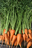 Garden Carrots Stock Photos