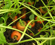 Garden carrots covered in soil. Orange carrots growing in the garden Royalty Free Stock Images