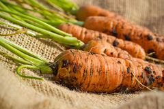 Garden carrots. Freshly dug carrots from the garden Royalty Free Stock Image