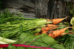 Garden carrots  and swiss chard Royalty Free Stock Photography