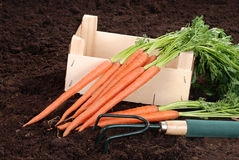 Garden carrots with wood box and fork Stock Image