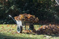 Garden cart with collected maple leaves royalty free stock images