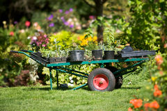 Garden cart with plants. Seattlke, WA, USA Sept 8, 2006: Large metal garden cart with containers of plants sitting in grass surrounded by colorful flowers at Stock Photos
