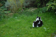 A garden cat lying on grass. A black and white garden cat on grass Royalty Free Stock Images