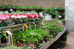 Garden center. Rows of plants for sale in a garden store Stock Images
