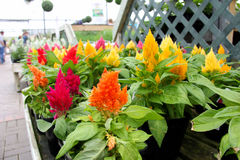 Free Garden Center Celosia Plumosa Stock Photos - 43439433