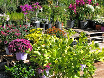 Garden center. Flowers and decorative citrus in pots in garden center outdoors. In the foreground are chrysanthemums and citrus tree Royalty Free Stock Images