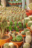 Garden center with many cacti for sale Royalty Free Stock Photography