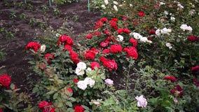 Garden Center para a venda das rosas P?talas cor-de-rosa Multi-colored Detalhes e close-up filme