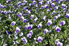 Garden center product of pansy flowers Royalty Free Stock Photos