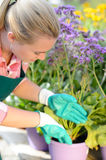 Garden center woman planting purple potted flowers. Garden center woman worker planting purple potted flowers royalty free stock photo