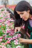 Garden center worker cutting flowers Royalty Free Stock Images