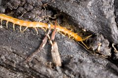Garden centipede Royalty Free Stock Images