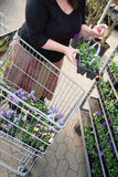 Garden centre. Shopping for plants and spring flowers at garden centre. pots of daisies in shopping trolley Stock Images