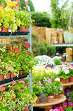 Garden centre green house with potted flowers. Garden center green house with full range colorful potted flowers Stock Photos