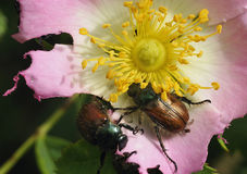 Garden Chafer Beetle Stock Photos