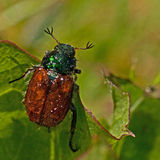 The garden chafer beetle, Phyllopertha horticola Stock Photos
