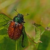 The garden chafer beetle, Phyllopertha horticola Stock Photos