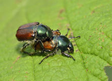 Garden Chafer Beetle. Phyllopertha horticola Royalty Free Stock Photos