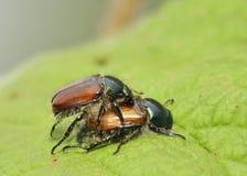 Garden Chafer Beetle. Phyllopertha horticola Stock Images