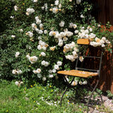 Garden chair with rambler roses Royalty Free Stock Photography