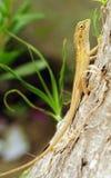 Garden Chameleon Stock Photo