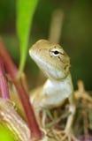 Garden chameleon face Stock Photo