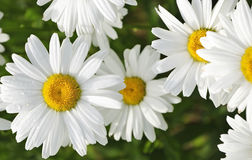 Garden chamomile flowers in closeup Royalty Free Stock Photo