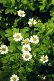 Garden chamomile green bush with flowers close up Stock Image