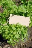Garden chervil Royalty Free Stock Photo